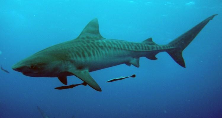 Güney Afrika Köpekbalığı