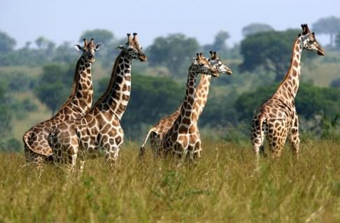 uganda zürafa
