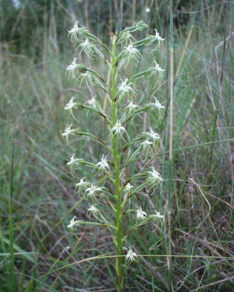 Habenaria falcicornis caffra