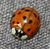 Harmonia axyridis (Harlequin Lady beetle) - Note the black W on the pronotrum