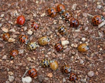 Harmonia axyridis (Harlequin Lady beetle) colour variations