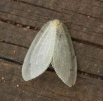 Silky Lacewing