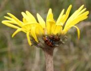 Cryptocephaline leaf beetle