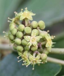 Rhoicissus tridentata