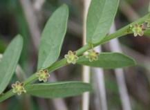 Phyllanthus parvulus