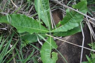 Crossandra greenstockii leaves