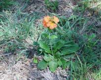 Crossandra greenstockii plant