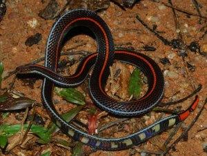 ular cabai yang berbisa