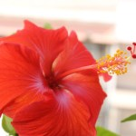 Hibiscus Health Benefits