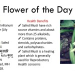 Safed Musli — Benefits