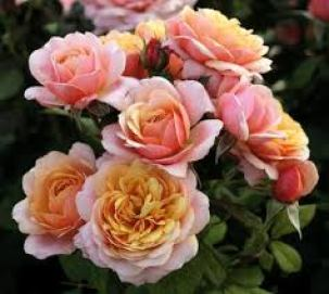 State of Grace New 2020 Rosa Grandiflora State of Grace™ New 2020 from  Regan Nursery