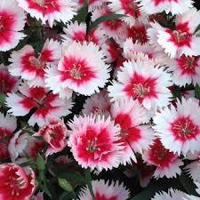 Carnation(Dianthus)