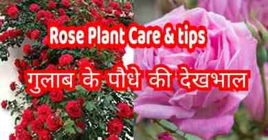 how to care for rose plant
