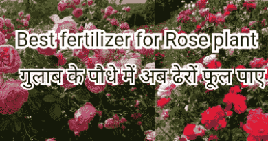 What is the best fertilizer for roses?