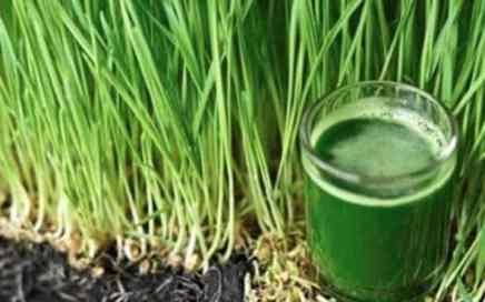 गेहूं के ज्वारे आयुर्वेद सेन्ट्रल wheat grass