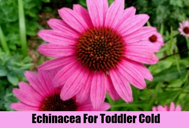 Echinacea For Toddler Cold