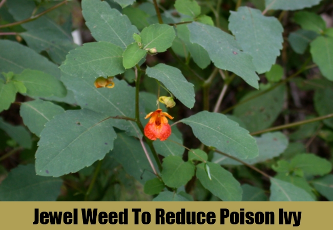 Jewel Weed To Reduce Poison Ivy