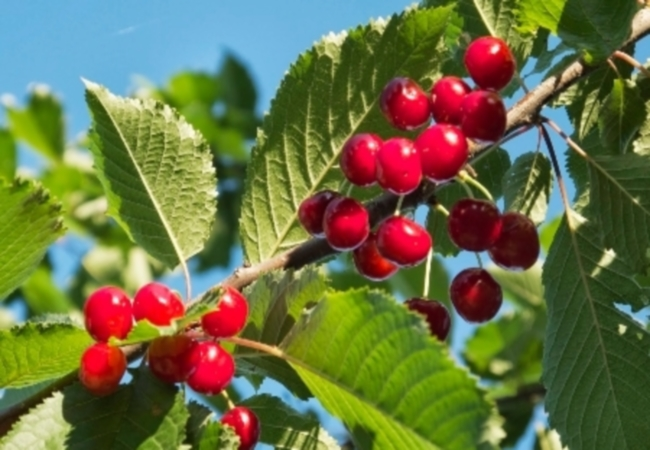 Wild Cherry For Cough