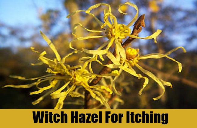 Witch Hazel For Itching