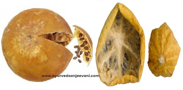 citrullus-colocynthis-fruit