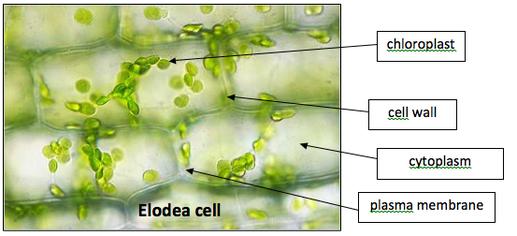 What Do Cheek Cells Diagram