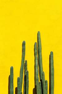 green cactuses on yellow wall background