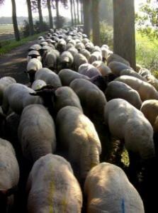 shepherd-&-suffolk-sheep_2908044