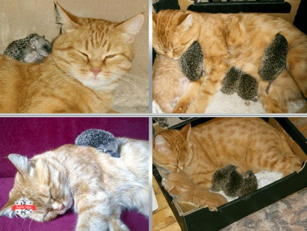 قنافذ، قطة 722x543.bmp