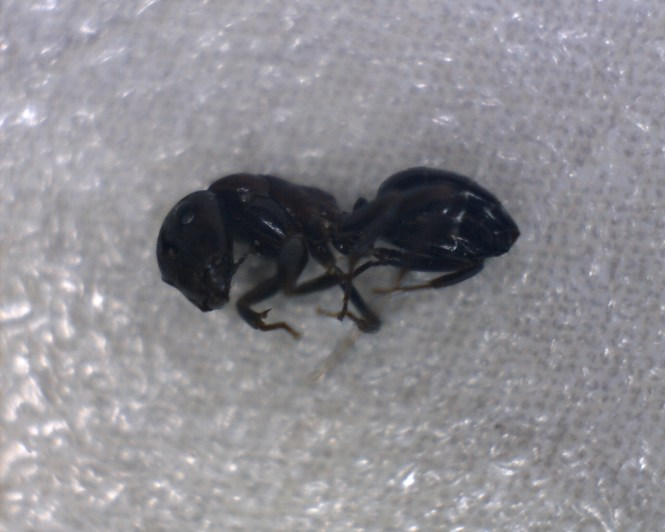 Carpenter Ants Vary In Size