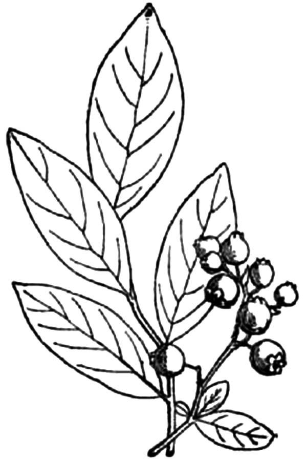 Blueberry Coloring Page Printable Sketch Coloring Page