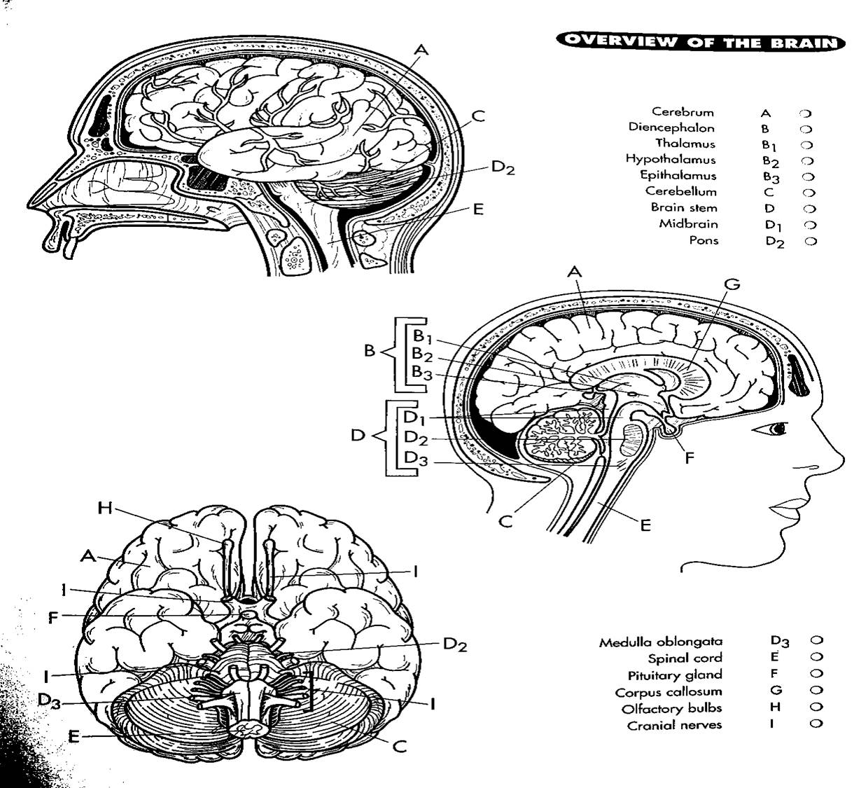 diagram of brain skull