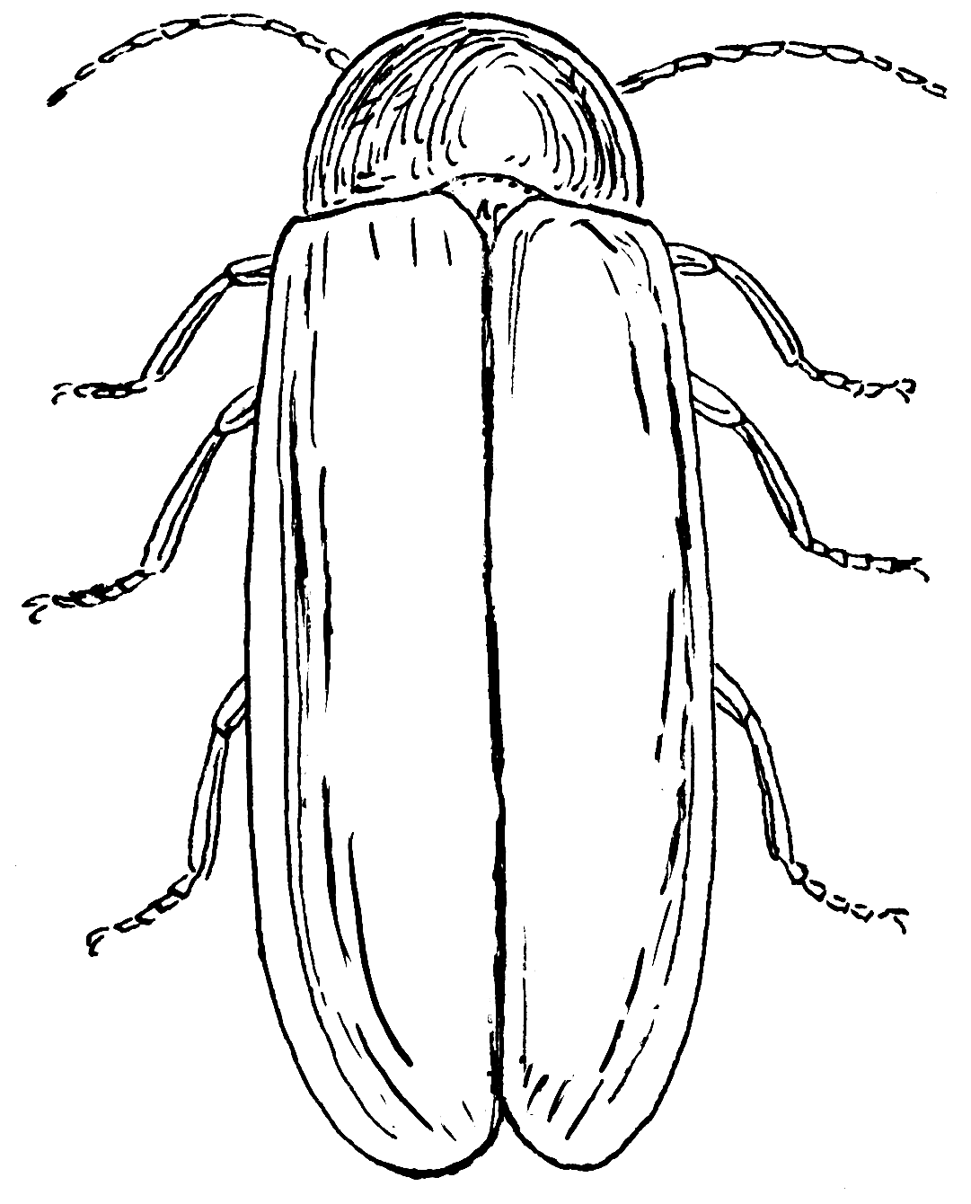 Common Eastern Firefly Page Coloring Pages