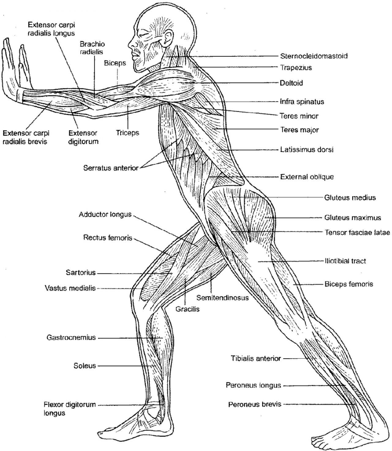 muscular system diagram worksheet cherry blossom origami coloring pages az