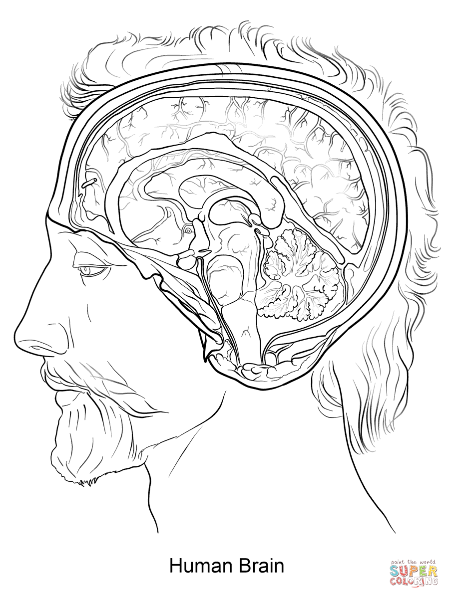 Brain Diagram Coloring Page Sketch Coloring Page