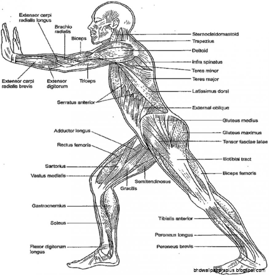 Free Anatomy Physiology Coloring Pages Sketch Coloring Page