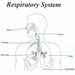 Respiratory Diagram Unlabeled Nissan Frontier Wiring 2006 System Coloring Page Home