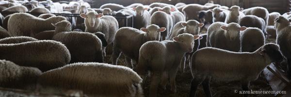 Anyák és bárányok - keleméri Széki puszta tanya