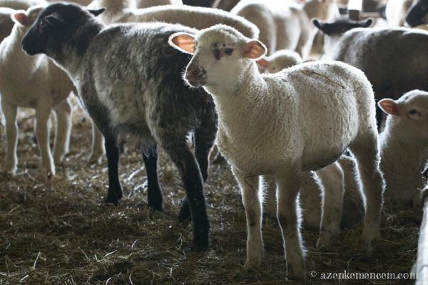 Keleméri bárányok - fél évig az istállóban maradnak