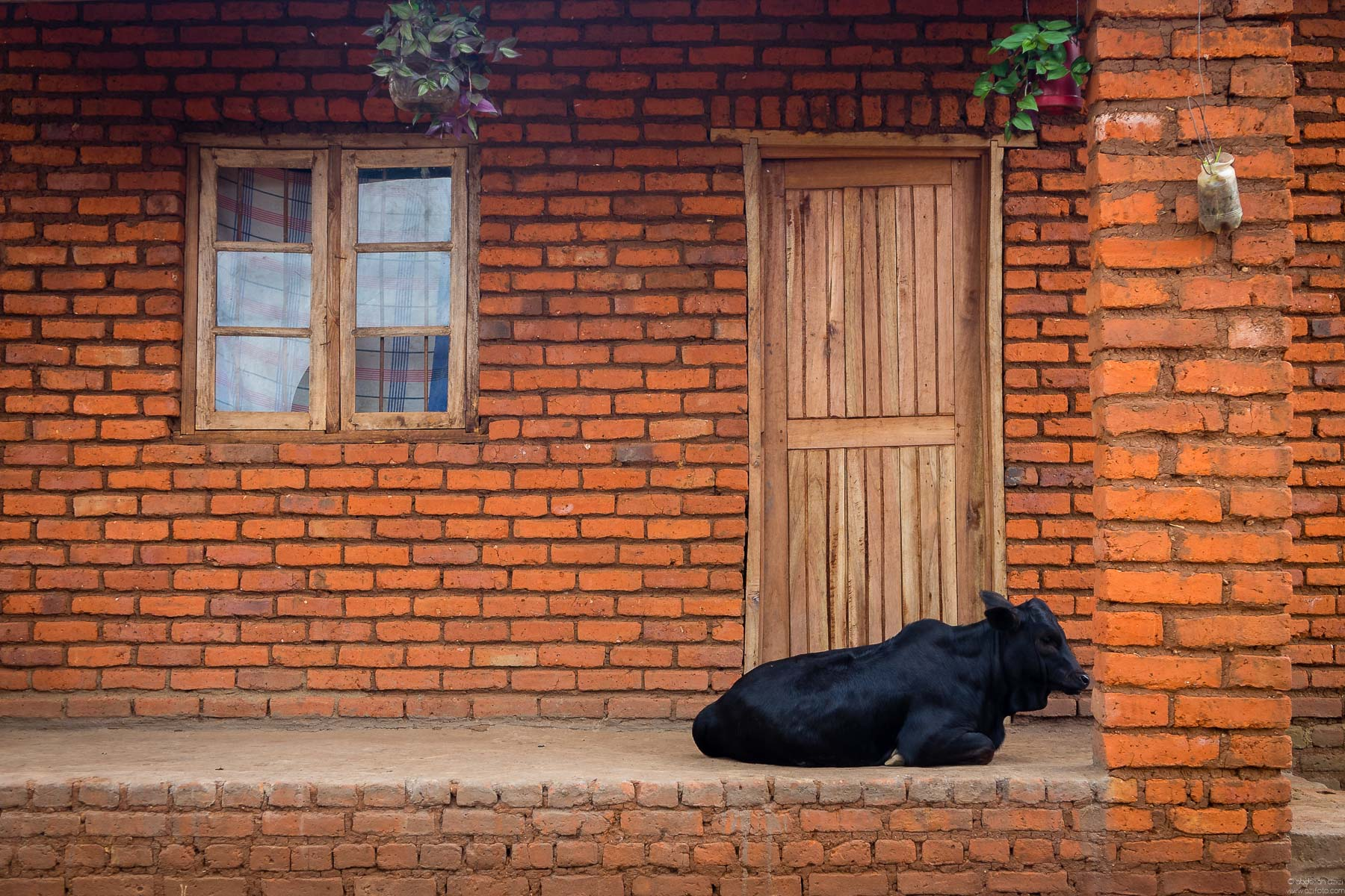 Cow in font of a house - malawi