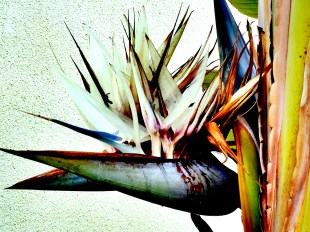 Photo of a large bird of paradise bloom.