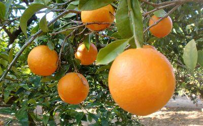 Oranges et mandarines bios en faveur de l'ikastola