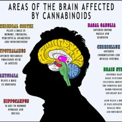 How A Smoker Works Diagram Wiring Of Star Delta Starter With Timer Infographic: Areas Brain Affected By Cannabinoids