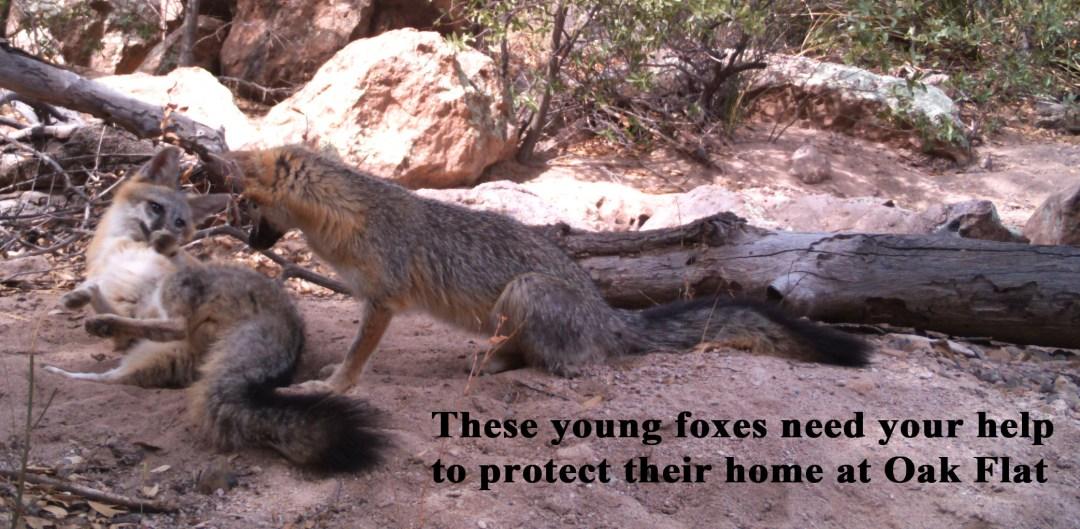 Young fox plea