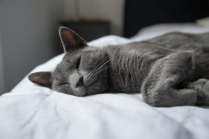 A gray cat taking a snooze on white bed sheets.
