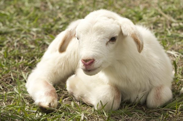 White lamb laying down on the grass.