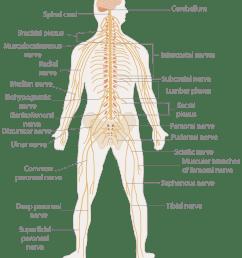 nervous system diagram [ 2000 x 2350 Pixel ]