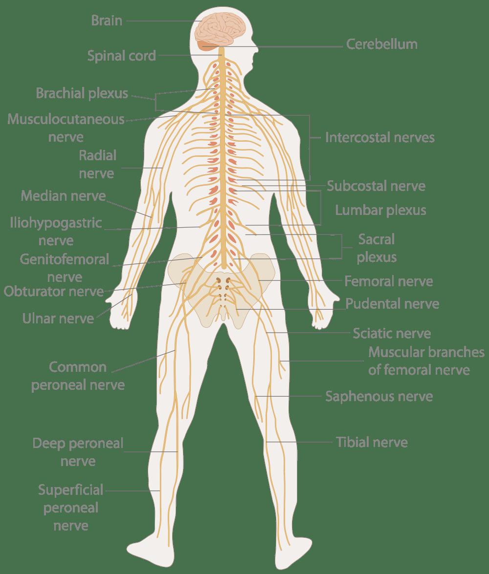 medium resolution of nervous system diagram