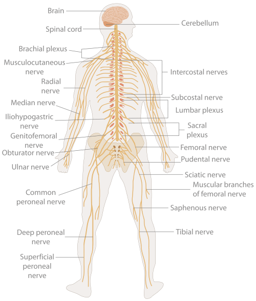 small resolution of nervous system diagram