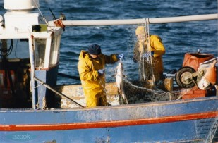 Crew of the 'Clairvoyant' M26 clearing a large cod from their net. (© Glyn Richards. GRC_1_14)