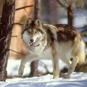 Mexican_Wolf_-George_Andrejko-AZGFD_300x300